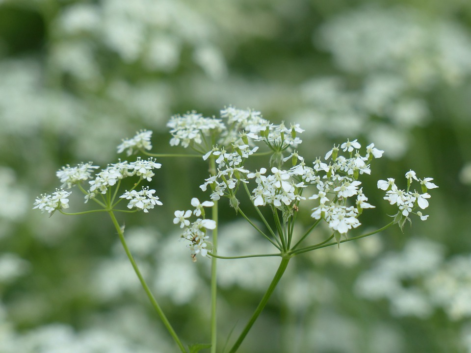 Cow Parsley, Blossom, Bloom, White, Wild Temulum