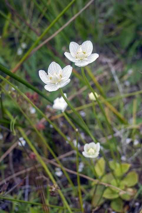 Grass Of Parnassus, Wildflower, White, Flora, Aromatic