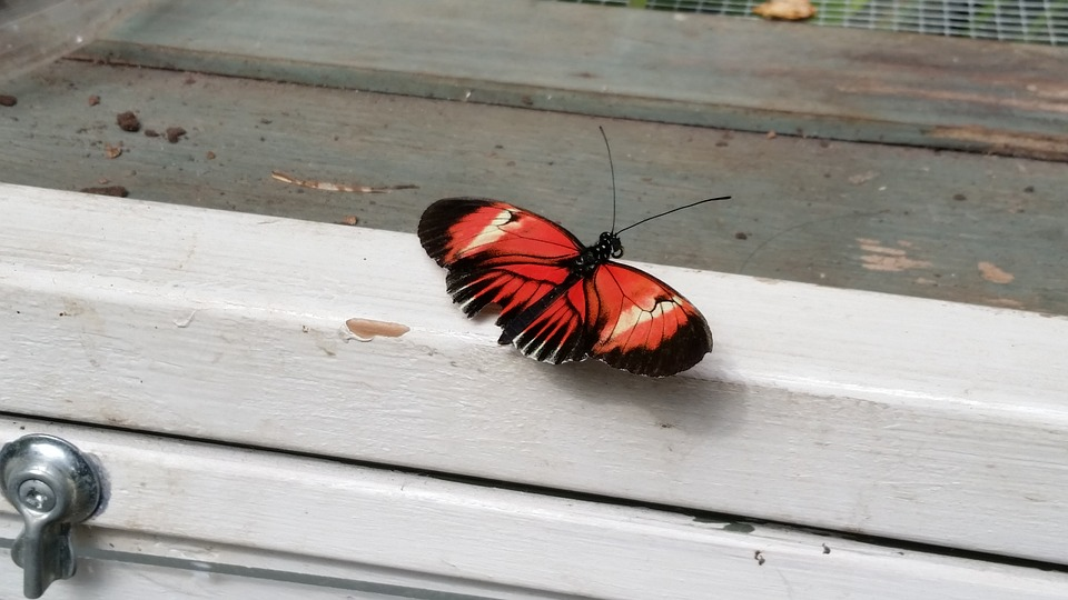 Butterfly, Windowsill, Red, White, Gray Butterfly