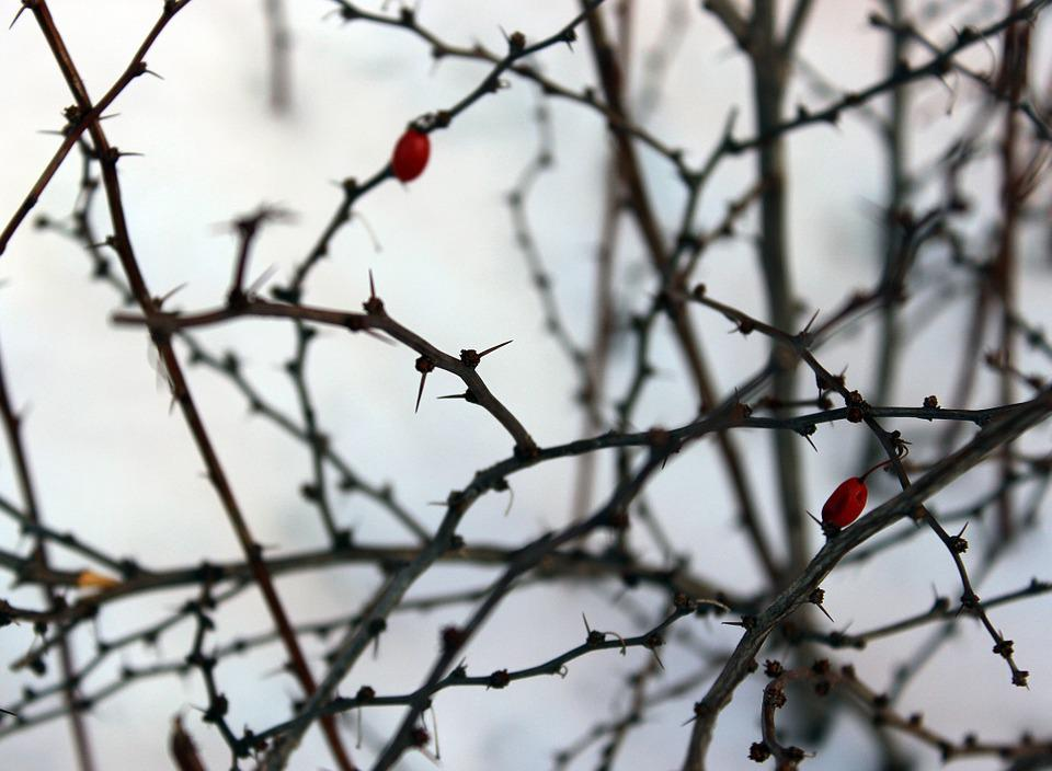 Winter, Prickles, Snow, Twigs, Horizontal, White