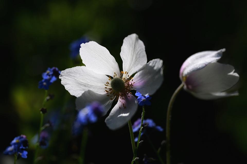 Anemone, Flower, Blossom, Bloom, Wood Anemone, White