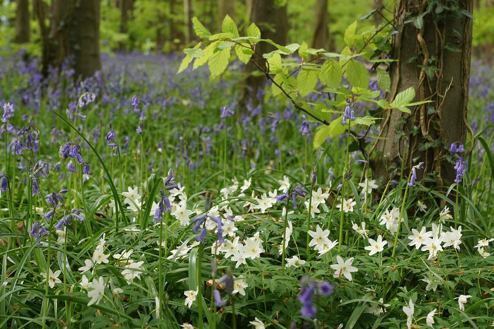 Free photo white wood anemone bluebells flower spring wood max pixel bluebells wood anemone wood flower spring white mightylinksfo