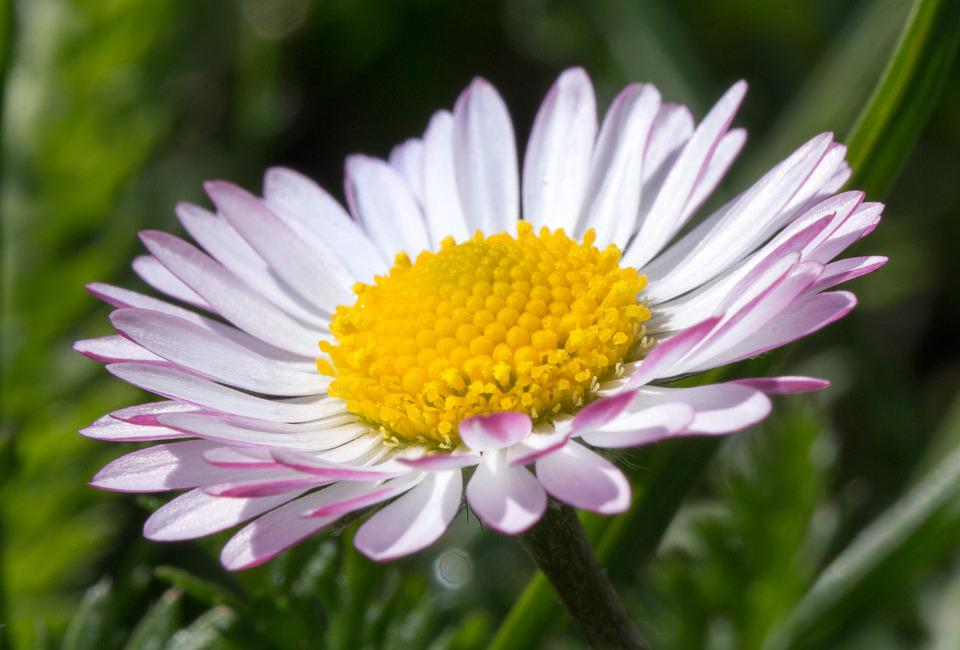 Daisy, Blossom, Bloom, Yellow, Spring, White, Pink