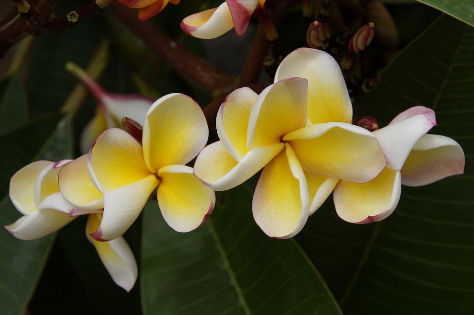 Frangipani, Temple Tree, Plumeria, Flower, White Yellow