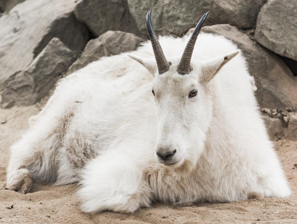 Mountain Goat, Zoo, White, Fur