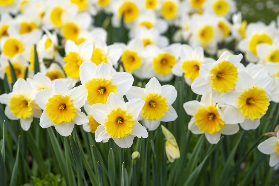 Spring Flowers, White-and-yellow, Flowers