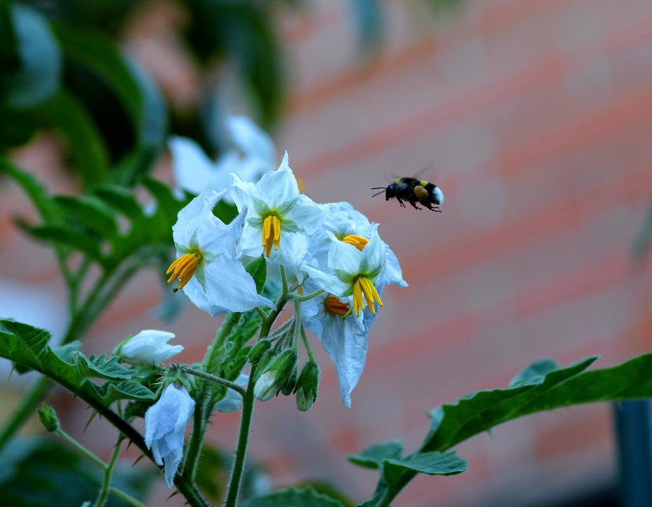 Litchi Tomatoes, White-tailed Bumble Bee, Pollen Sack