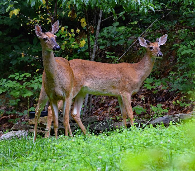 Deer Pair, Deer, White-tailed, Animal, Wild, Nature
