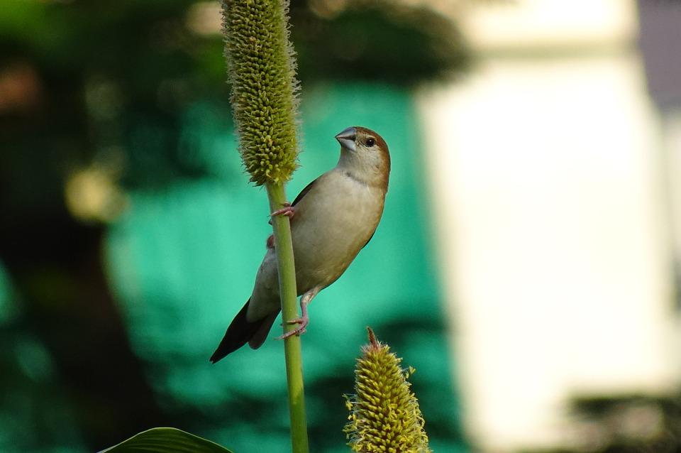 Bird, Indian Silverbill, White-throated Munia