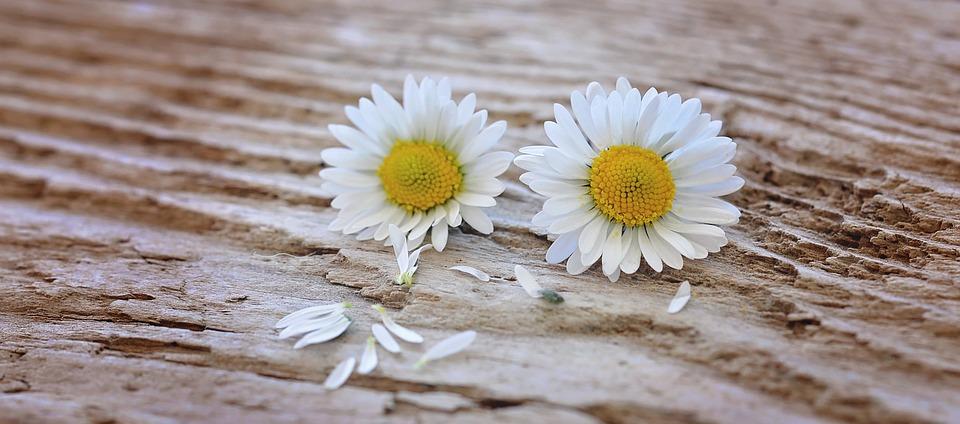 Flowers, Daisy, White-yellow, Wood, Close