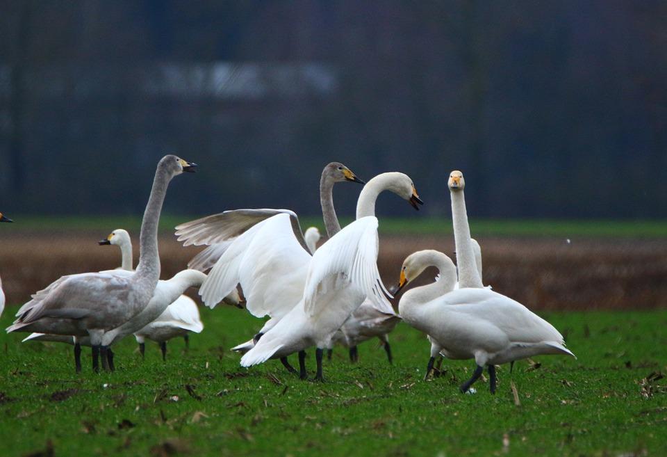 Swan, Whooper Swan, Bird, Swans, Flock Of Birds