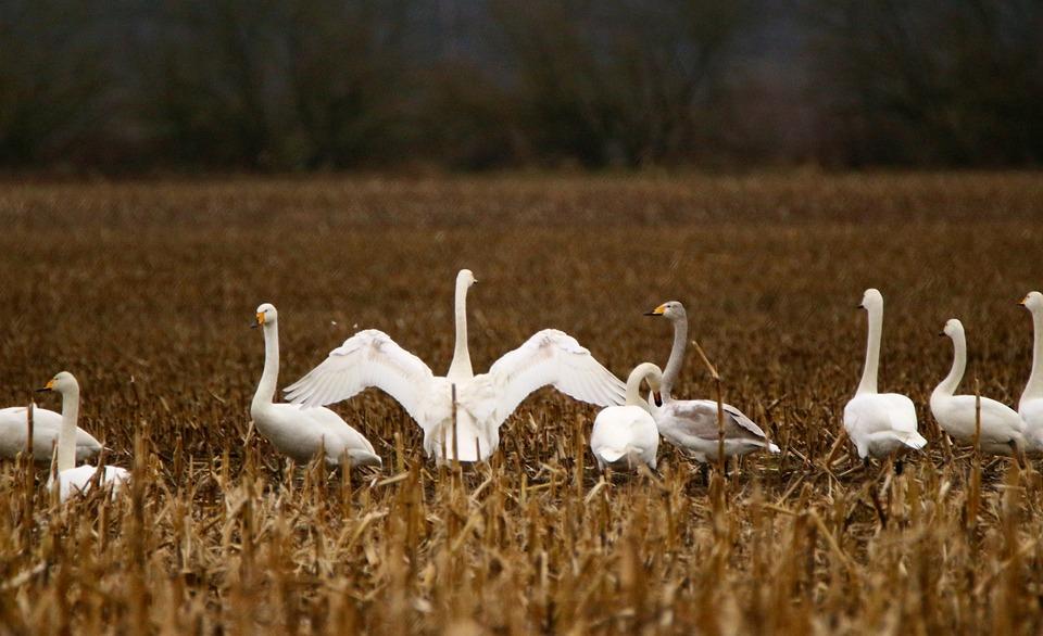 Swan, Bird, Migratory Bird, Whooper Swan