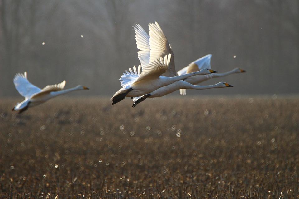 Whooper Swan, Bird, Swan, Arable, Field, Migratory Bird