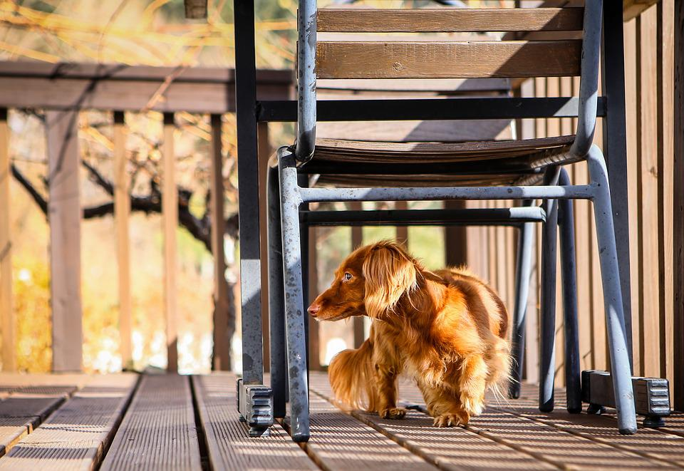 Dog, Dachshund, Animal, Brown, Adorable, Wiener