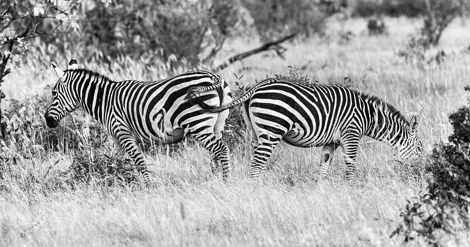 Zebras, Africa, Animal World, Nature, Wild