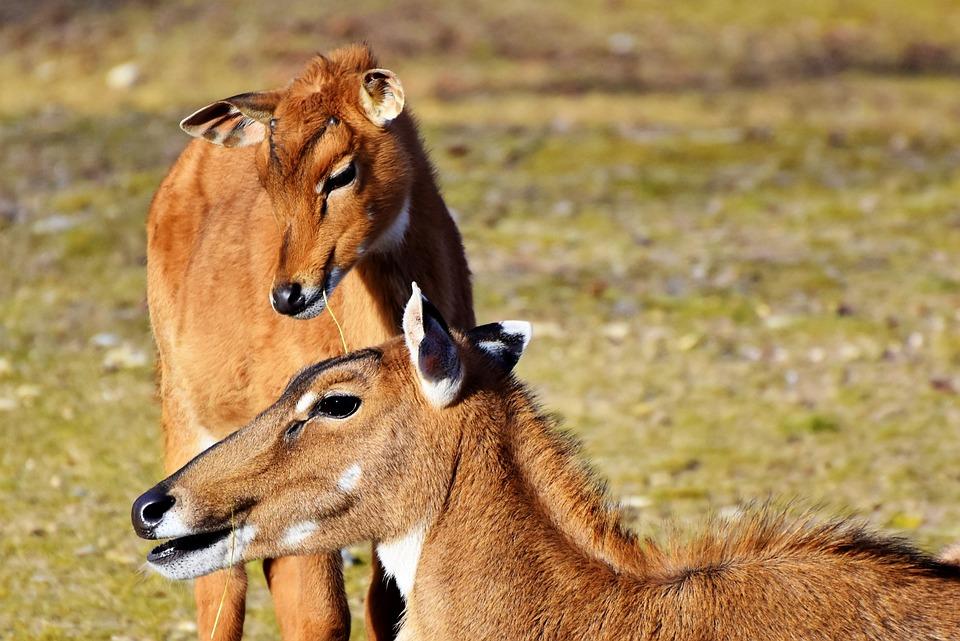 Goat-antelope, Antelope, Young Animal, Wild, Africa