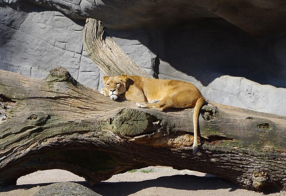 Lioness, Wild Animal, Wildcat, Predator, Big Cat