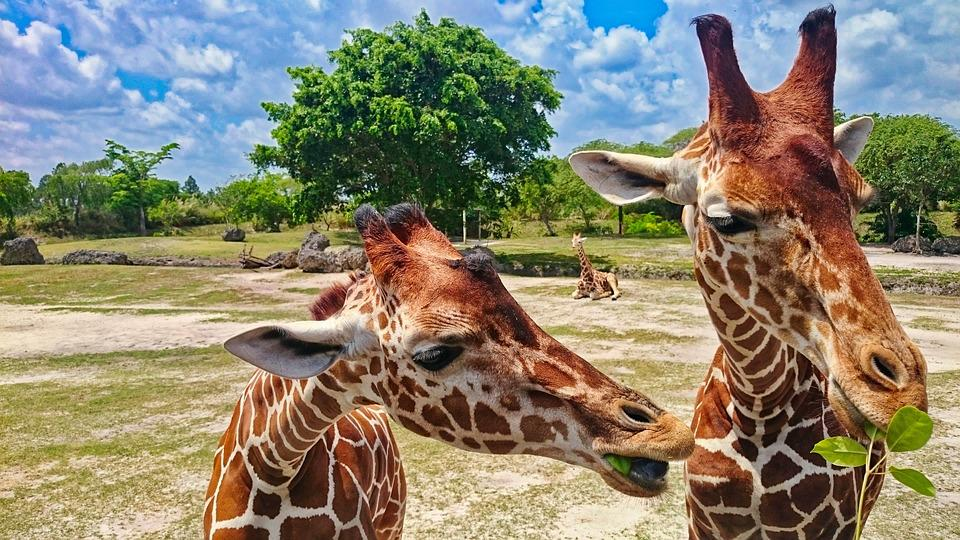 free photo wild animal giraffe africa zoo animal giraffe head max