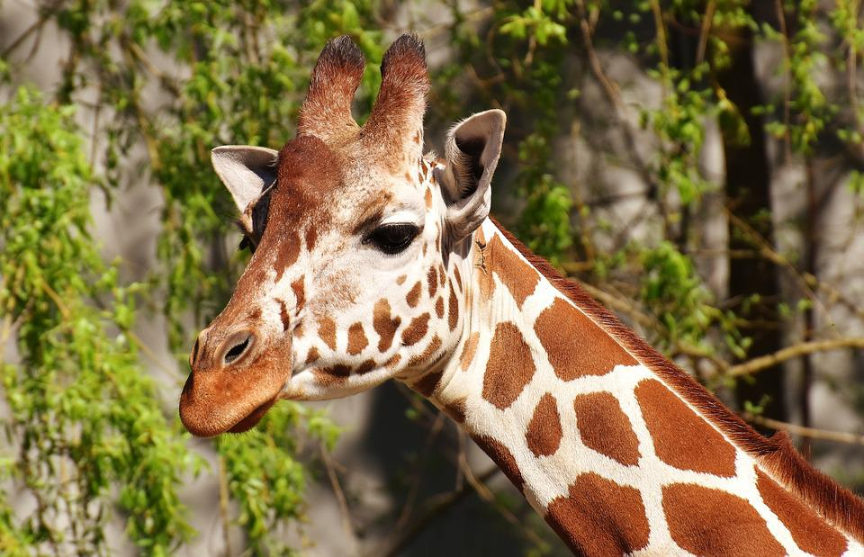 Giraffe, Wild Animal, Stains, Long Jibe, Animals