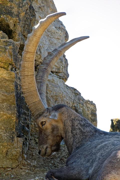 Capricorn, Horns, Wild, Animal, Nature, Herbivores