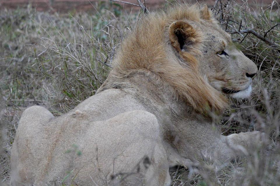Lion, Wild Animal, Male, Big Cat, Animal World