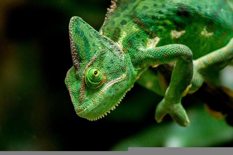 Chameleon, Head, Green, Lizard, Reptile, Wild Animal