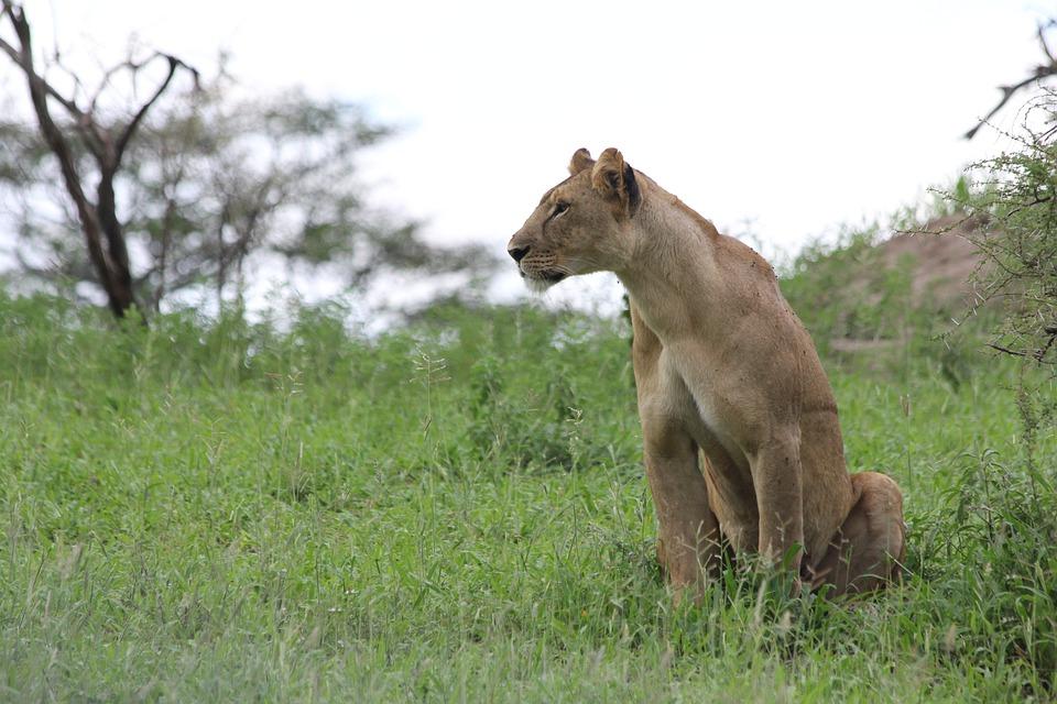 Lioness, Africa, Tanzania, Tarangire, Lion, Wild Animal