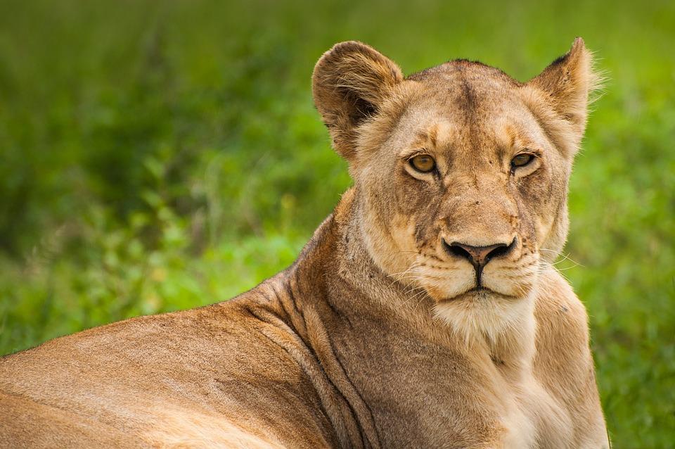 Lion, Lioness, Wild Cat, Big Cat, Wild, Wild Animal