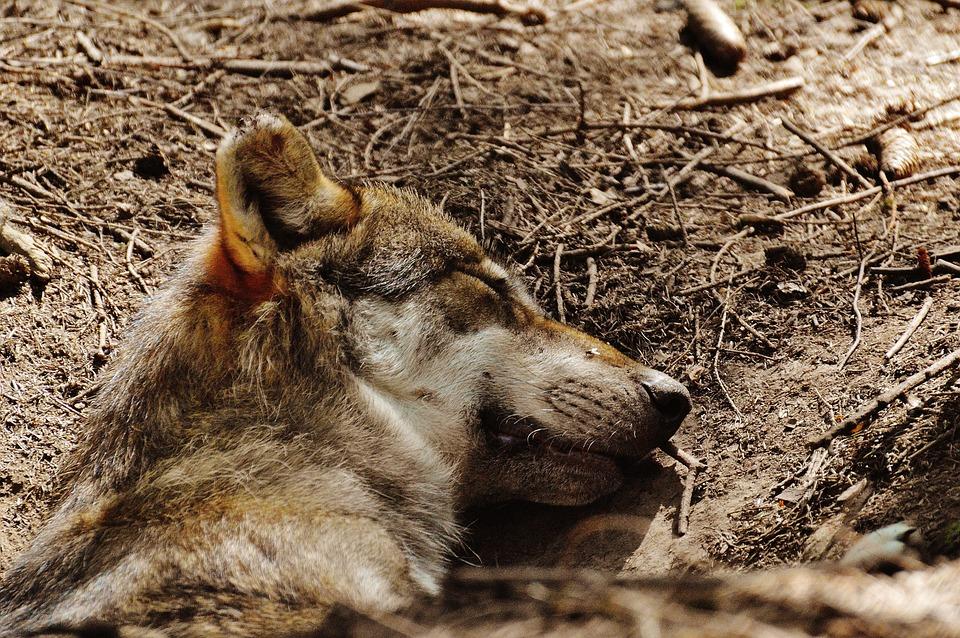Wolf, Sleeping, Relaxed, Animal, Wild Animal