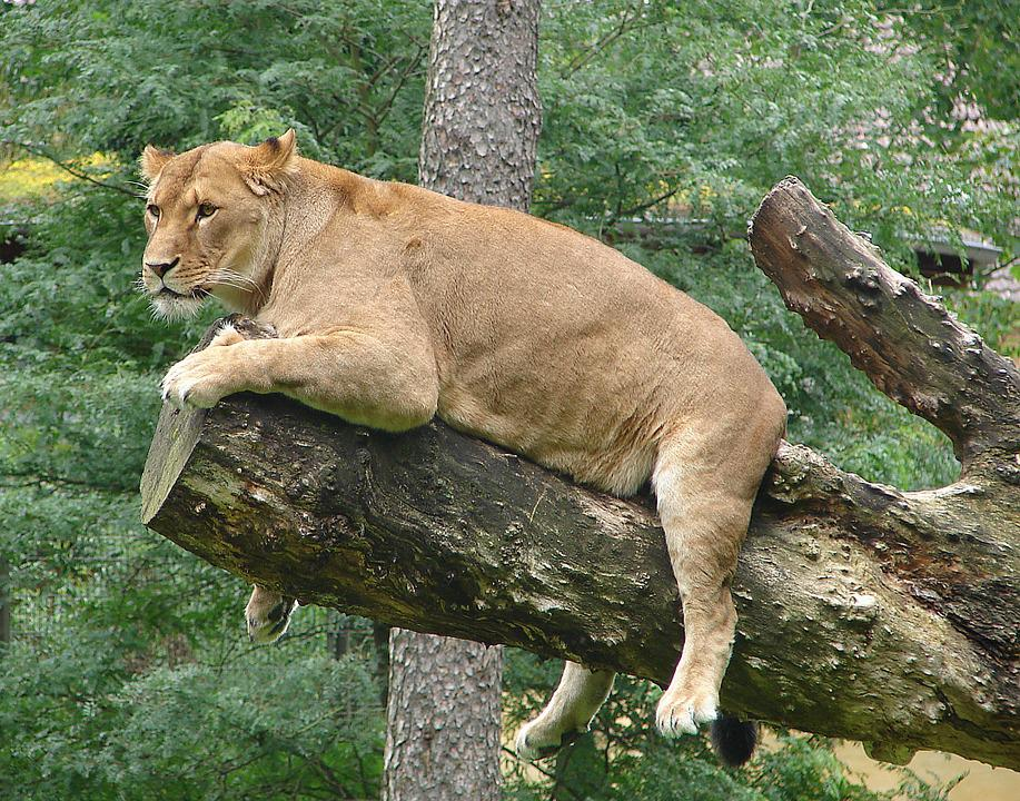 Lioness, Predator, Rest, Animal World, Wild, Animal