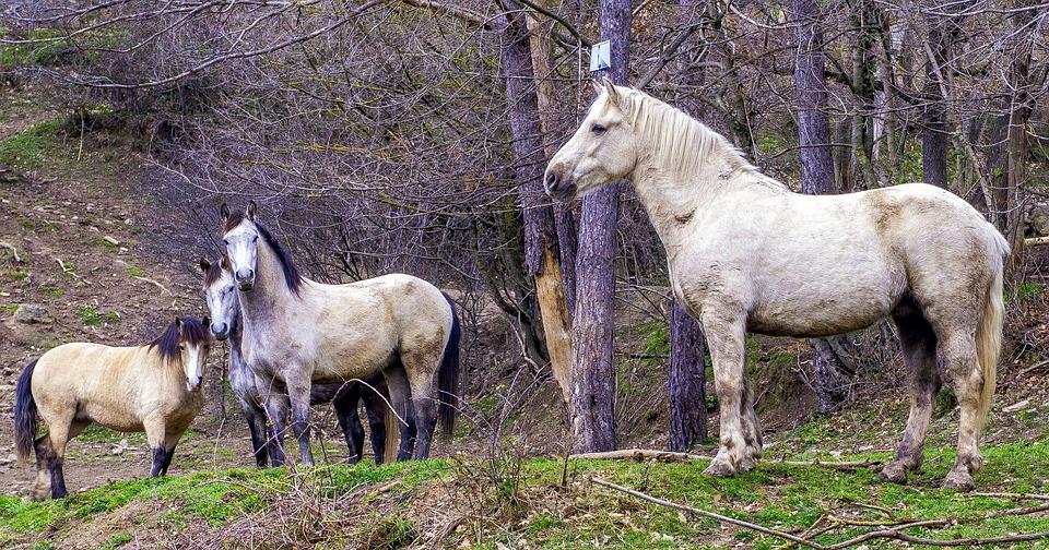 Horses, Wild, Equine, Mammalia, Animalia, Cavalry