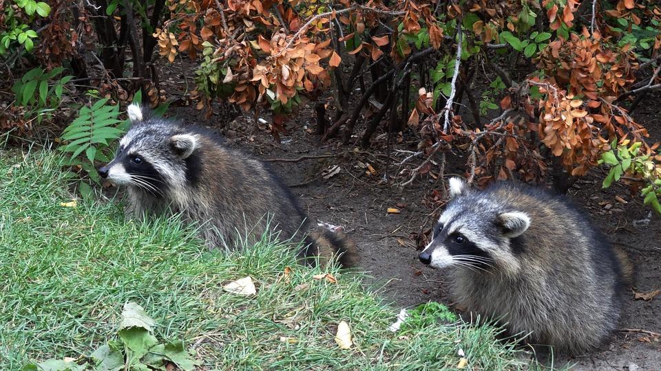 Wild, Raccoon, Nature, Animals