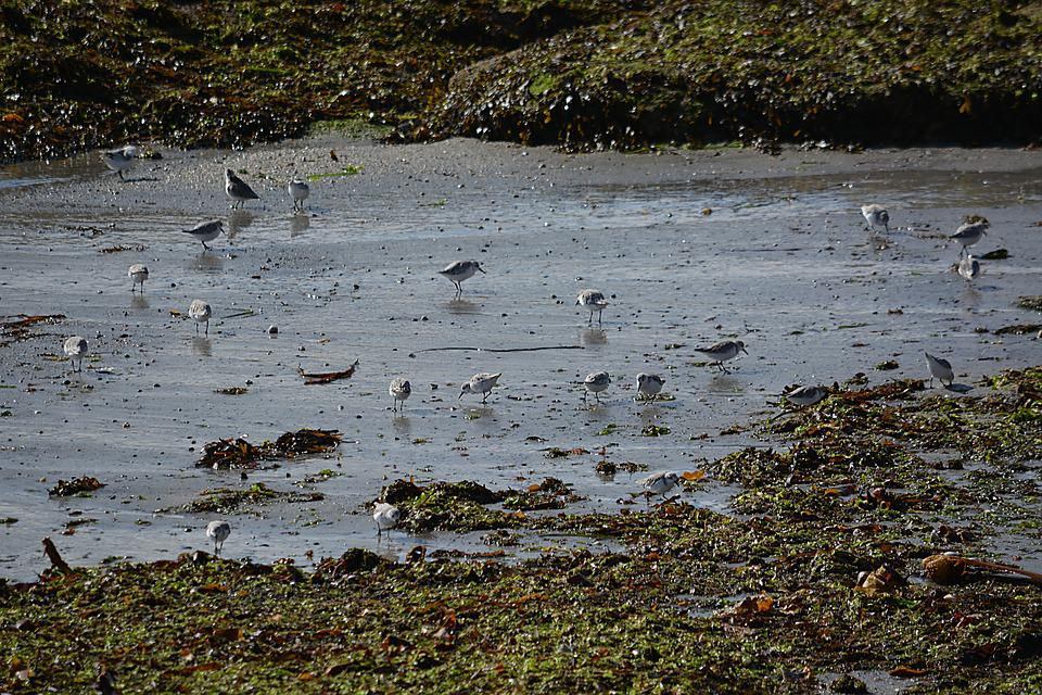 Birds, Plovers, Fauna, Nature, Animals, Wild, Wildlife