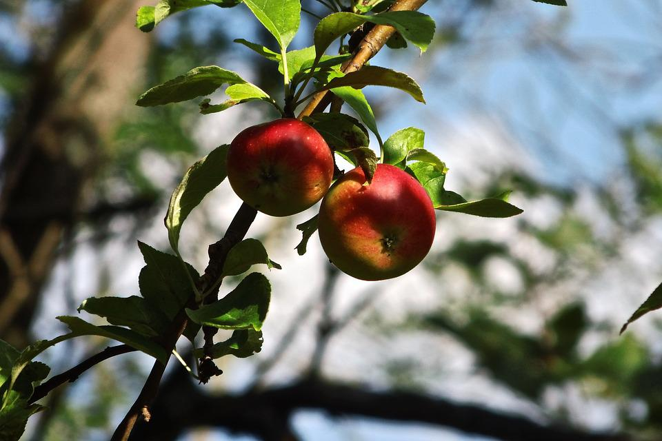 Wild Apple, Apple Tree, Apple, Close, Nature, Fruit
