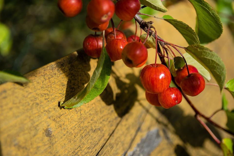 Malus, Embellishment, Wild Apple Tree, Red, Apple