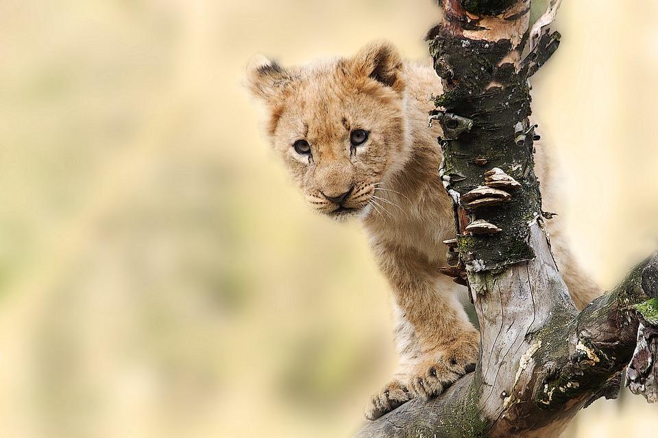 Lion, Animal, Nature, Predator, Big Cat, Wild
