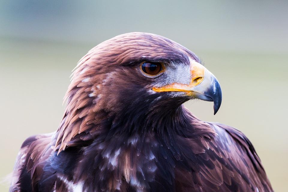 Golden Eagle, Adler, Bird, Feather, Nature, Wild Bird
