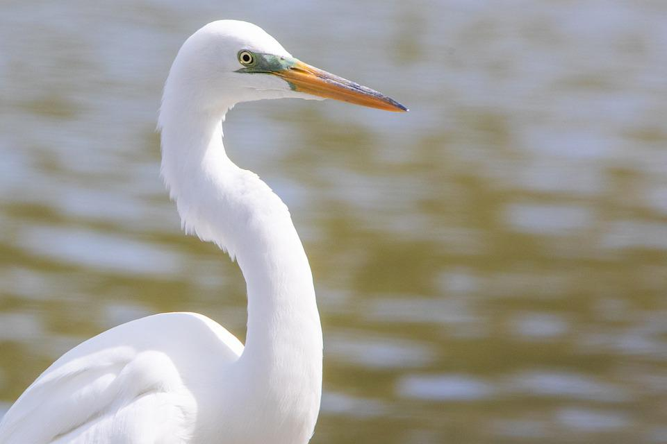 Egret, Great White Egret, Wild, Wildlife, Nature, Bird