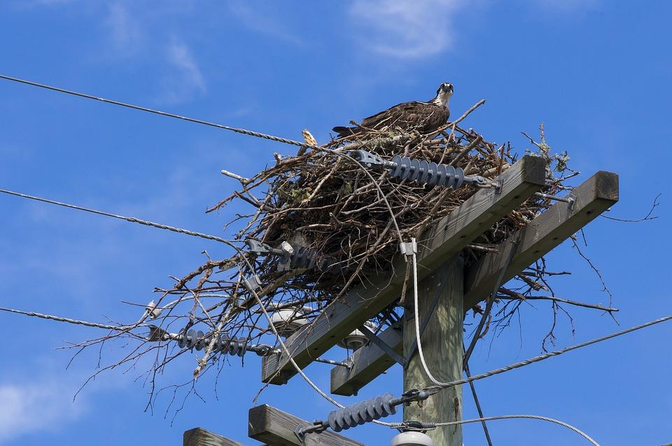 Osprey, Bird Of Prey, Bird, Wild, Nature, Feathers