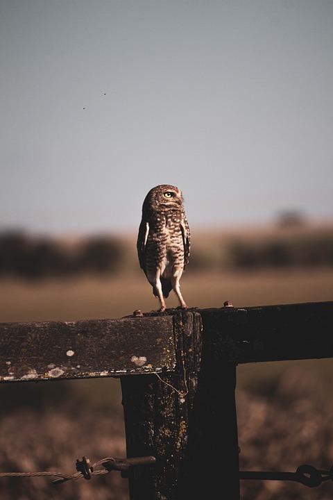 Owl, Bird, Animal, Wild, Nature