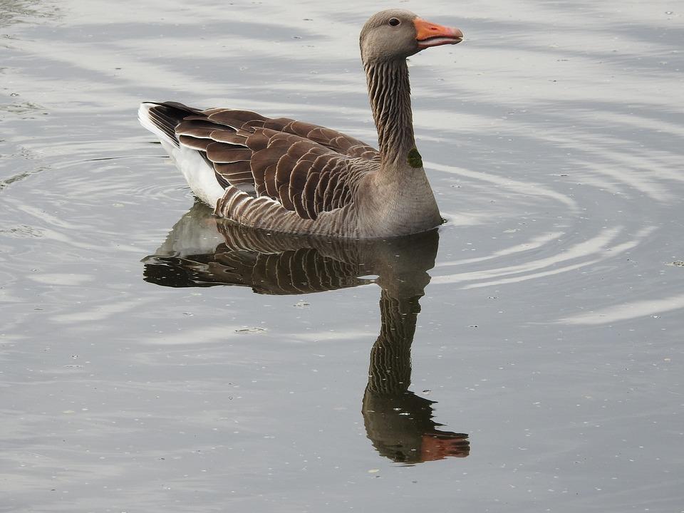 Wild Goose, Goose, Water Bird, Wild Bird, Greylag Goose