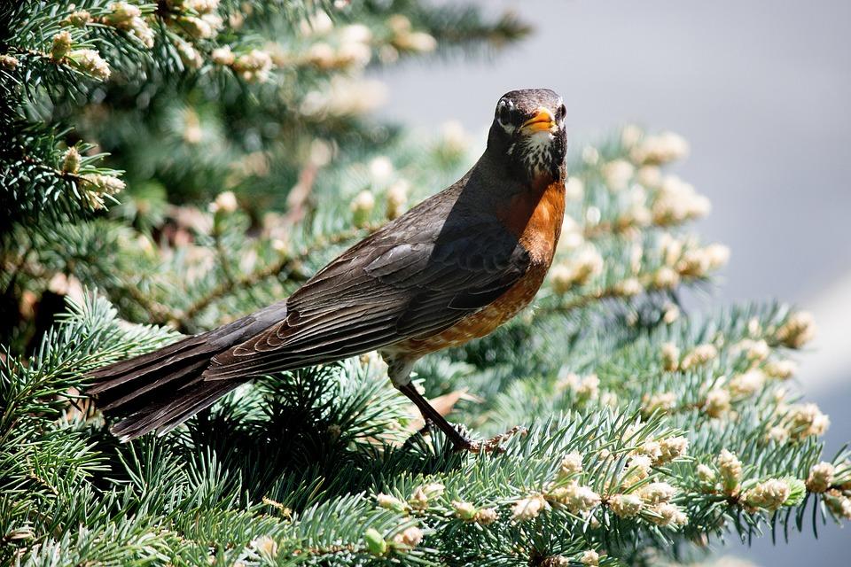 Robin, Bird, Wildlife, Nature, Wild, Branch
