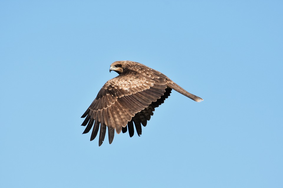 Animal, Sky, Bird, Wild Birds, Raptor