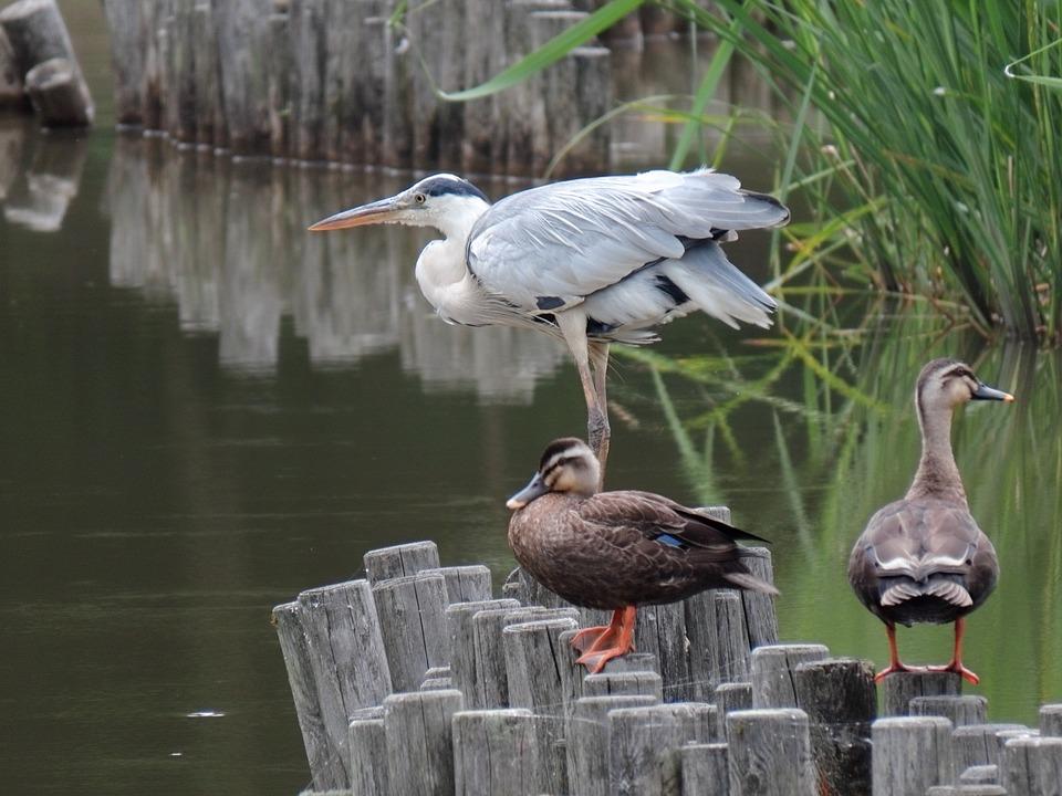 Animal, Pond, Water, Waterweed, Bird, Wild Birds