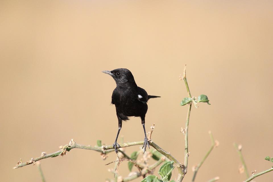 Bird, Black, Animal, Africa, Safari, Wild, Nature