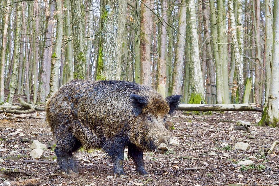 Boar, Nature, Wild, Animal World, Forest, Wildlife Park