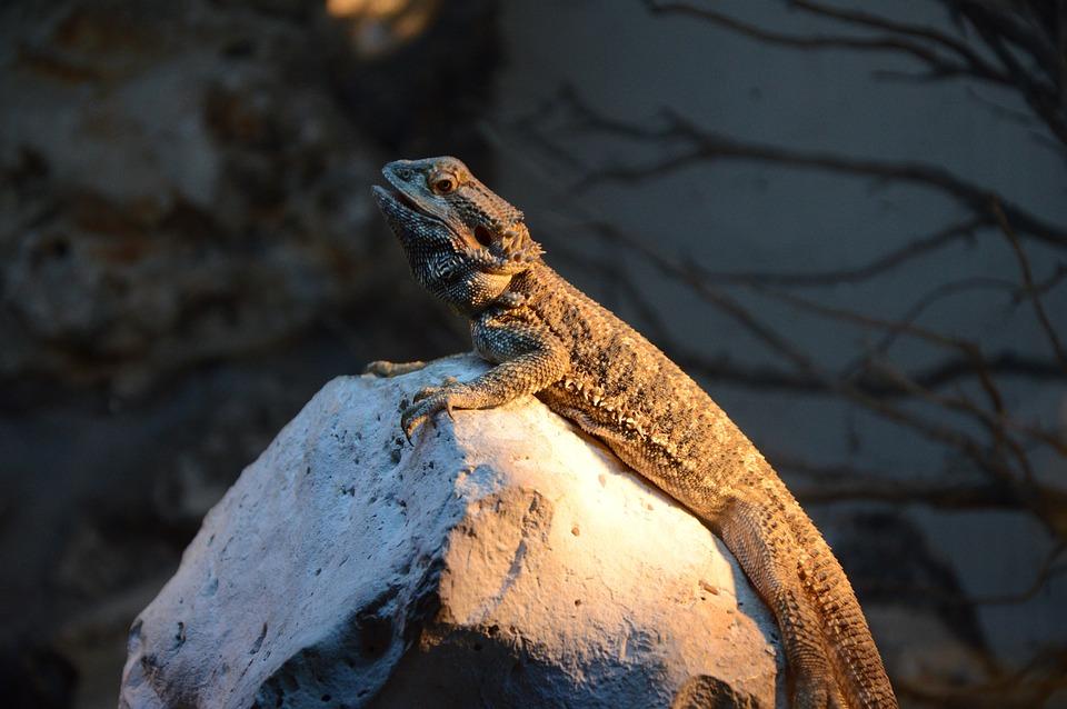 Iguana, Calm, Nature, Zoo, Madrid, Animal, Wild