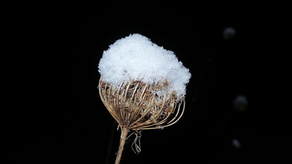 Wild Carrot, Dark, Snow, Ice