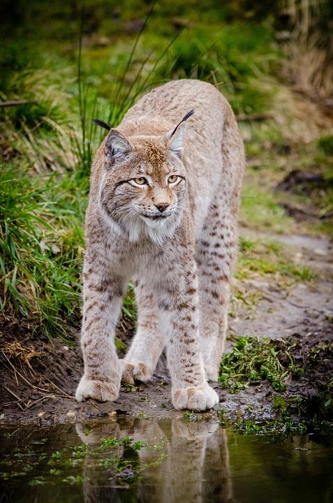 Animal, Lynx, Feline, Grass, Outdoors, Wild Cat
