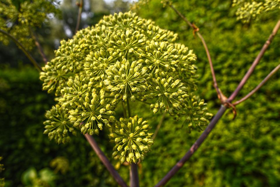 Garden Angelica, Wild Celery, Plant, Flower, Root